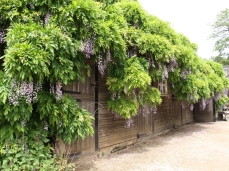 Even a humble stable looks great with a stunning climber... Wisteria here at Hidcote