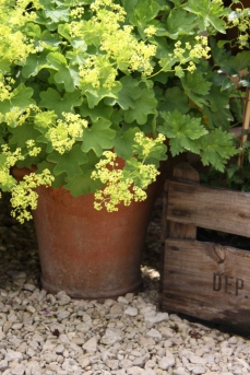 Try growing ordinary plants in containers. This is Alchemilla mollis