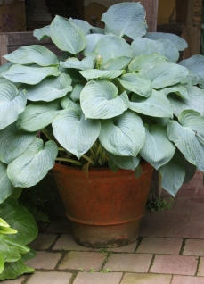Grow hostas in huge pots in shady places