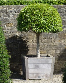 Choose a large container for a statement shrub