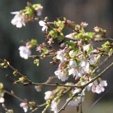 Prunus incisa 'Praecox' flowers in February and March