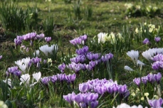 Underplant deciduous trees and shrubs with daffodils, crocus and primroses