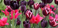Massed Tulips grown in containers