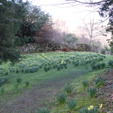 Dry Stone Wall and Daffodils