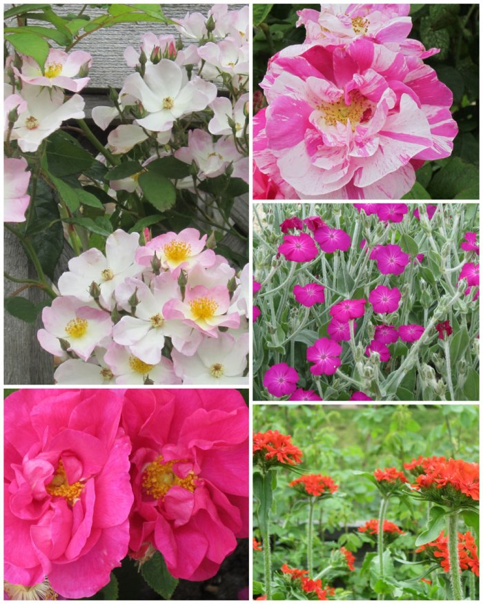 Kenilworth-Roses